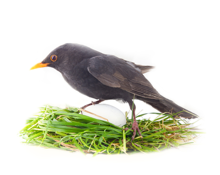 Male Blackbird in artificial nest with disproportionately large white egg. Photos-joke - confusion of men when you first look at offspring. ?oncept of fatherhood, young parents build nest, procreation