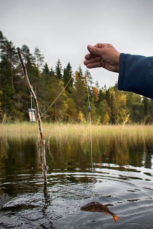 procedure of pike fishing in special trap, install kind of fishing tackle zherlitsa and bait with perch, catching pike in lake. Illegal fishing. Series of demonstration pictures