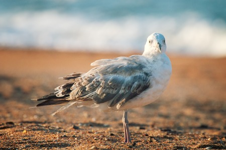 Photo for Seagull is on seaside - symbol of sea. The White-headed gull (Larus cachinnans pontisus) on Black sea, first summer plumage (1 year age) portrait - Royalty Free Image
