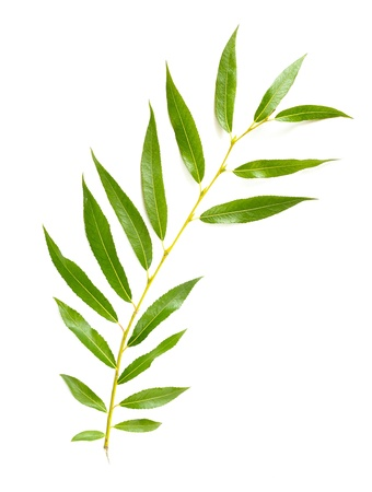 A tender green Weeping Willow leaf on white background