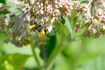 A wild wet bee gathering pollen on a pink clover flower