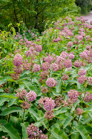 Pink and white Asclepias syriaca flowers and buds, also known as Milkweed or silkweed, with  foraging bees, in the meadow close to the Dnieper river in Kiev, Ukraine, under the warm summer sun