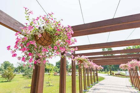 Photo pour Hanging garden of pink petunia roses in the Natalka park of Kiev, Ukraine, under a warm spring sun. The flowers are placed in baskets suspended from a wooden structure of the pergola type - image libre de droit