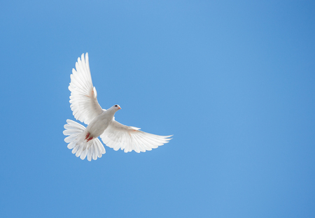 Photo for White dove flying in the sky - Royalty Free Image