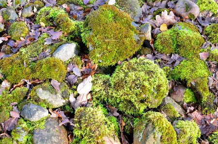 Photo for Green moss on old stones in the forest, background, texture. - Royalty Free Image