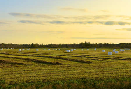 Hay in rolls in white packages on field is stored in open on sunset background. Harvesting dry grass for agriculture. Ecological fuel in straw briquettes. Biofuel production from agricultural residues