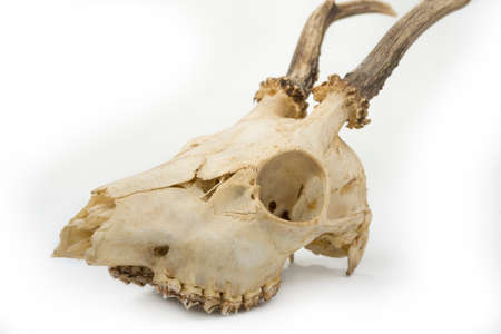 Photo pour Deer skull with teeth on a white background - image libre de droit
