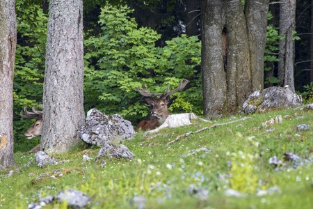 Portrait of a proudly looking deer in a forest in summer