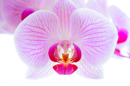 Foto de Beautiful Pink Orchid Flowers Isolated on the White Background. Close up Floral Image - Imagen libre de derechos