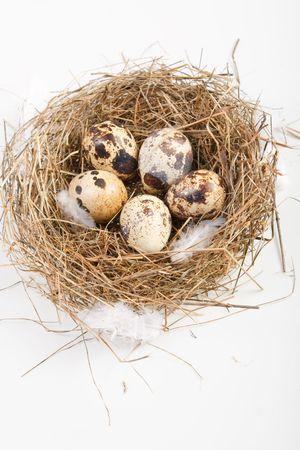 motley eggs at nest