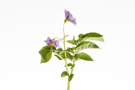 Foto für potato flower - Lizenzfreies Bild