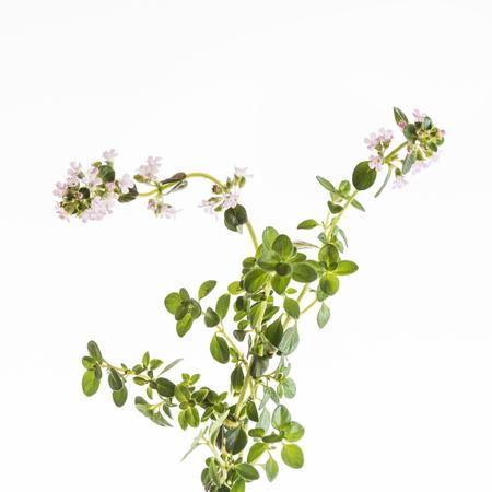 Photo pour thyme flowers isolated - image libre de droit
