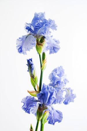 Photo for iris isolated on white - Royalty Free Image
