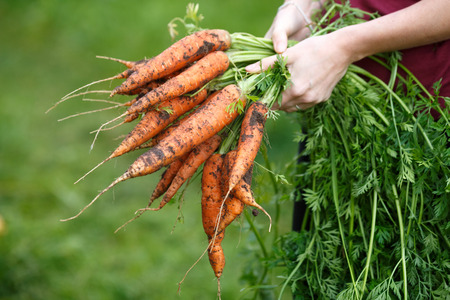 Woman holding a freshly dug carrots. Locavore movement, local farming, harvesting concept