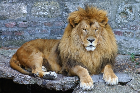 portret of proud lion