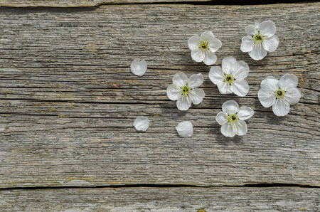 Photo pour Spring Blossom cherry over wood background. Spring Flowers on wooden background. Top view. Copy space. - image libre de droit