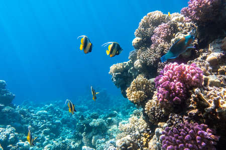 Photo pour Pennant coralfish (longfin bannerfish), Butterflyfish (Chaetodon) and Parrotfish in colorful coral reef, Red Sea, Egypt. Bright yellow striped tropical fish in the ocean, clear blue turquoise water, sun rays. - image libre de droit
