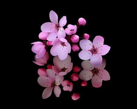 cherry blossoms on a black background