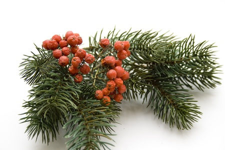 Fir branch with berries