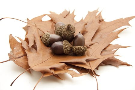 Autumn foliage with acorns