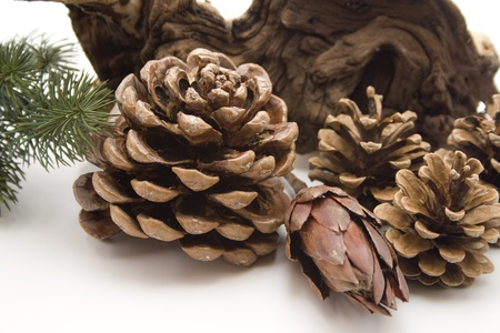 Pine plugs with wooden root