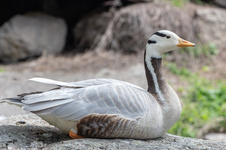 Photo for Bar-headed goose Anser indicus A young person at a mountain waterfall Close up - Royalty Free Image