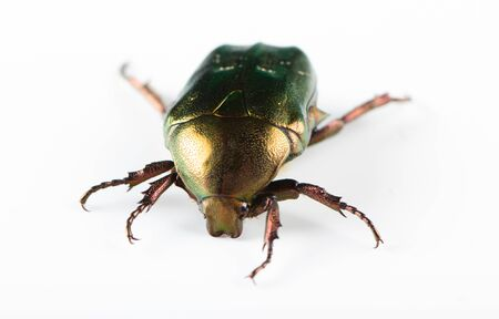Photo for Rose chafer cetonia aurata isolated on white background - Royalty Free Image