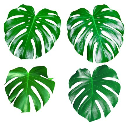 Photo for Monstera green juicy fresh leaf isolated on a white background - Royalty Free Image
