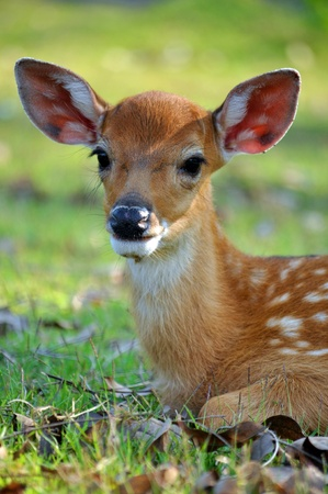 The Sika deer is one of the few deer species that does not lose its spots upon reaching maturity.