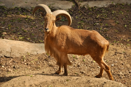Barbary sheep are excellent, sure-footed jumpers and climbers