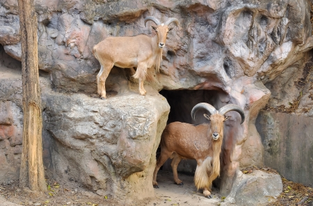 Barbary sheep are the only wild sheep from Africa