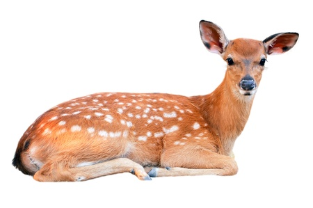 Baby sika deer is reddish-brown with white spots, and spends the first week of its life lying still in long grass, visited by its mother for feeding.