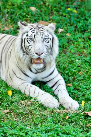 A white tiger in captivity at a zoo. The presence of stripes indicates it is not a true albino.