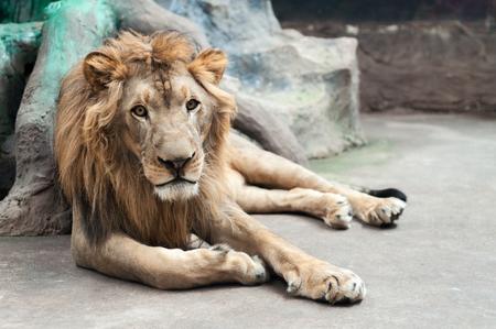 male lion is lying mear the rock