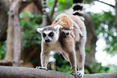 Photo for Lemur is raising their baby - Royalty Free Image