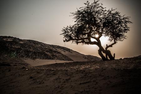 Olive tree on Sahara desert, Egypt