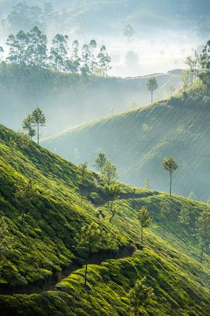 Photo pour Tea plantations in Munnar, Kerala, India - image libre de droit