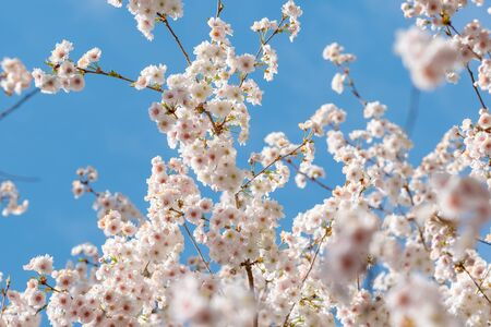 Photo pour Branch of the Blooming white sakura cherry blossom flowers close-up - image libre de droit