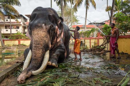 Photo pour Unidentified man washing temple elephant, Cochin, Kerala, India - image libre de droit