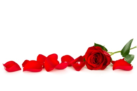 red rose with loose petals isolated on white background