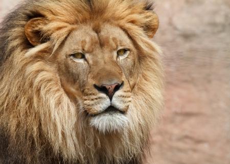 Foto de Lion - Imagen libre de derechos