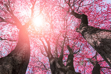 Photo pour Tree with pink flowers in spring - image libre de droit