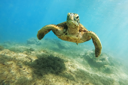 Photo for Green sea turtle above coral reef underwater photograph - Royalty Free Image