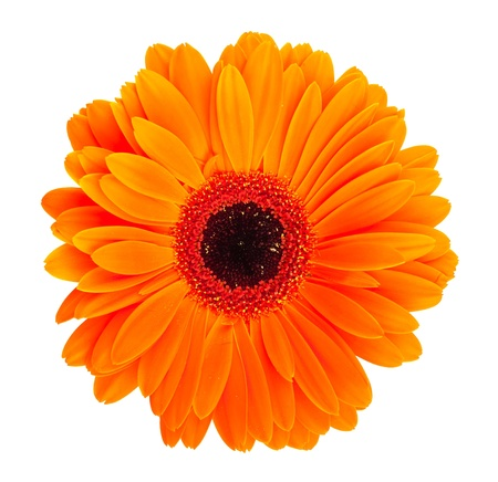 Single orange gerbera flower isolated on white background