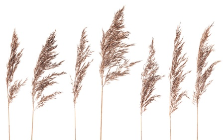 Seven dried bush grass panicles isolated on white background