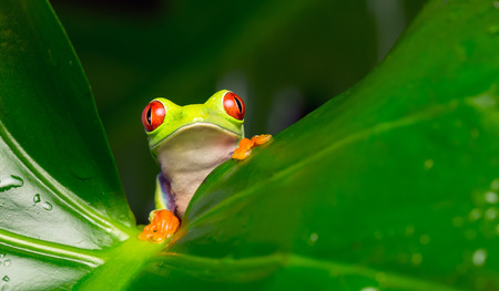 Red eyed tree frog looking at the camera
