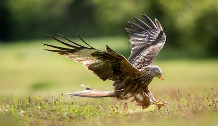 Photo pour Red kite coming into land - image libre de droit