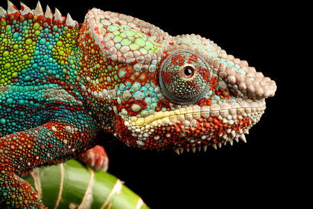 Blue bar chameleon close up