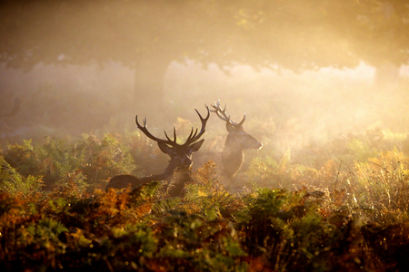 Two red deer stags in the dawn mist