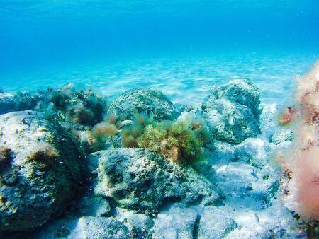 Photo pour Colorful underwater vegetation in the Mediterranean sea, Malta - image libre de droit